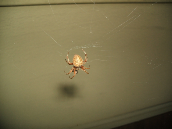July 27, 2007: Orb Weaver.